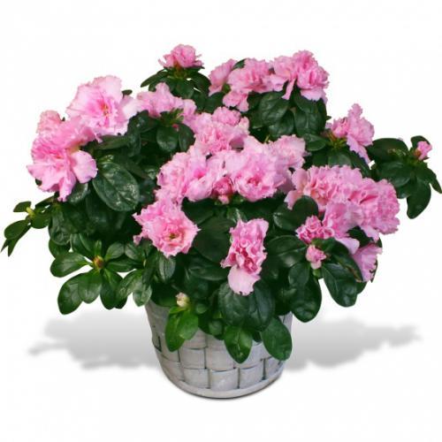 azalee-en-fleurs-282120.jpg