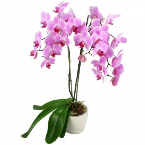 orchidee-a-fleurs-fuchsia-274220.jpg