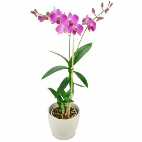 orchidee-rose-fuchsia-49469.jpg
