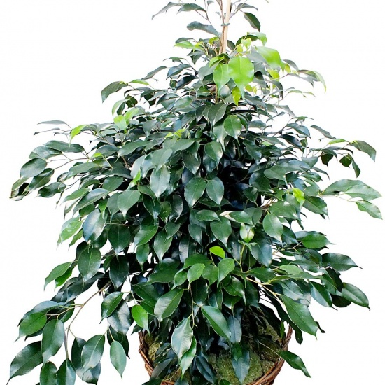 plante verte d polluante ficus en pot fleurea. Black Bedroom Furniture Sets. Home Design Ideas