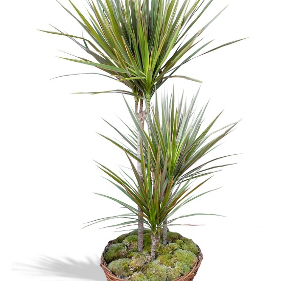 Plante verte d polluante dracaena en pot fleurea for Plante verte tombante