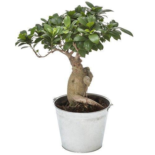 bonsai-ginseng-3618.jpg