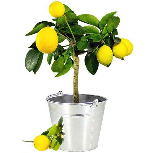 citronnier-14838.jpg