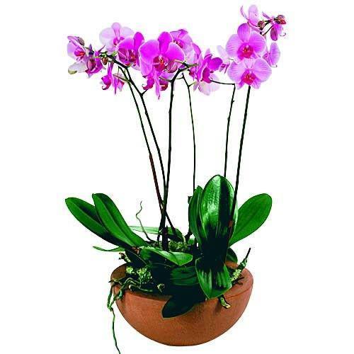 coupe-de-phalaenopsis-3542.jpg