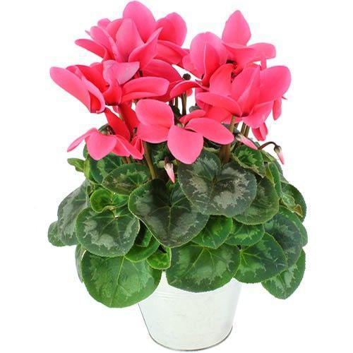 cyclamen-rose-4589.jpg
