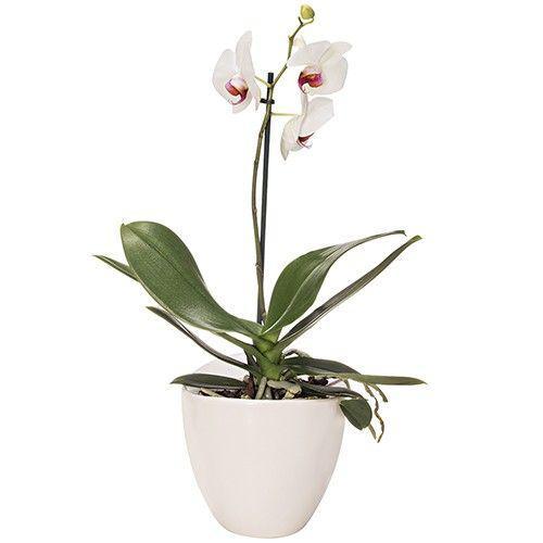 orchidee-blanche-1-branch-11214.jpg