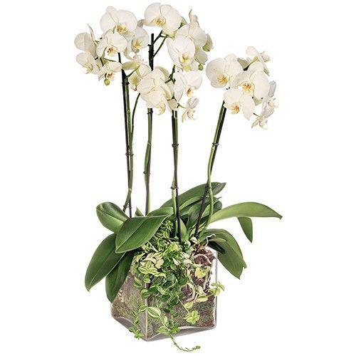 orchidee-blanche-4-branch-11207.jpg