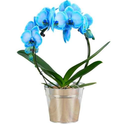 orchidee-bleue-45992.jpg
