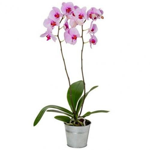 orchidee-rose-2-branches-962.jpg