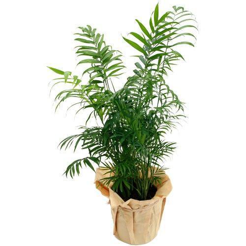 palmier-areca-977.jpg