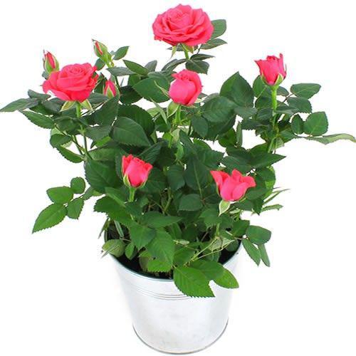 rosier-rose-4590.jpg