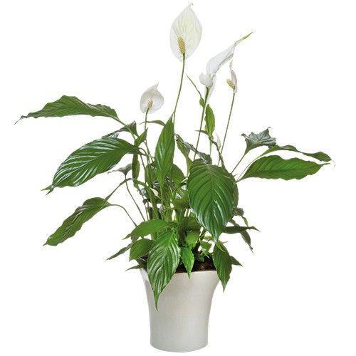spathiphyllum-11445.jpg