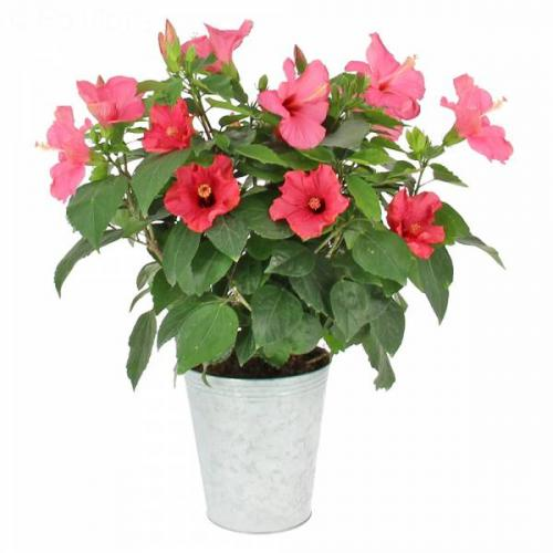 hibiscus-88.jpg