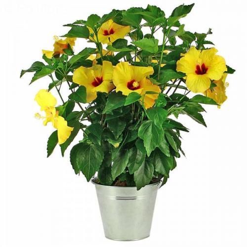 hibiscus-jaune-602.jpg