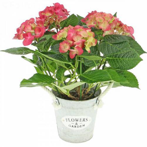 hortensia-rose-420.jpg