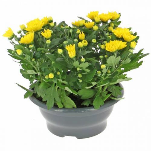 jeune-chrysanth-me-424.jpg