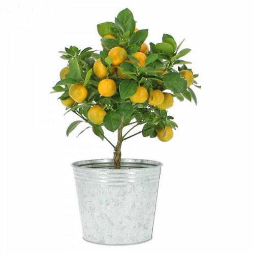 oranger-calamondin-11.jpg
