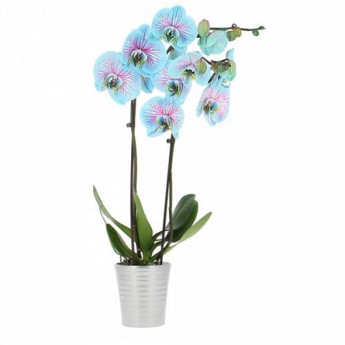 orchid-e-bleue-282.jpg