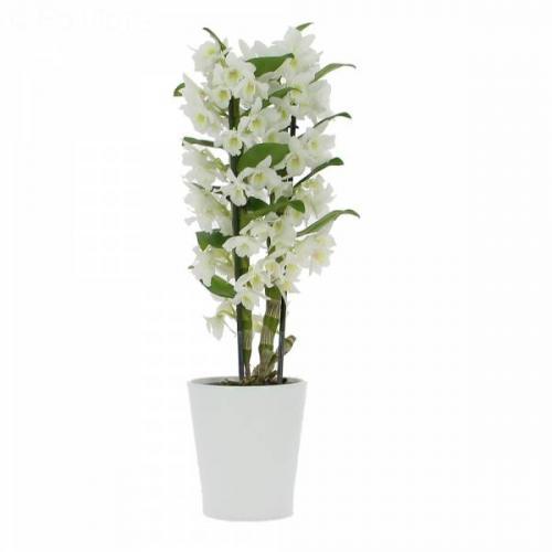 orchid-e-dendrobium-269.jpg
