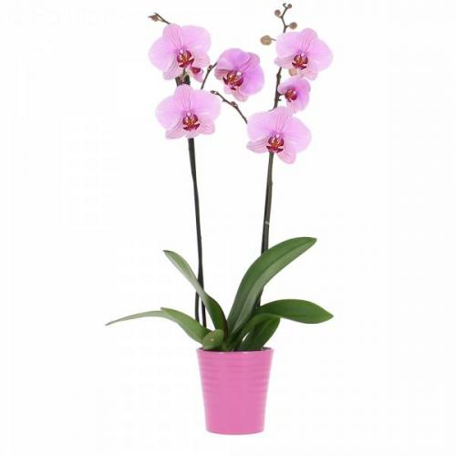 orchid-e-rose-intense-(2-7.jpg
