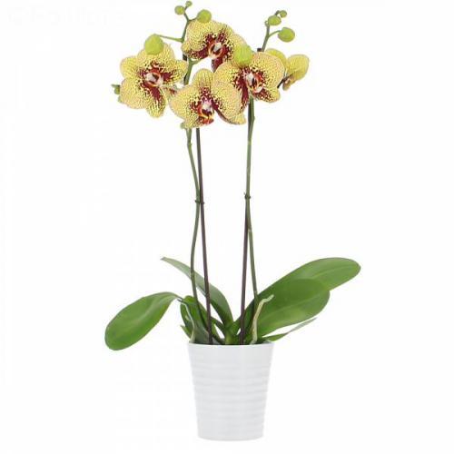 orchidee-magic-kiss-2-br-4.jpg