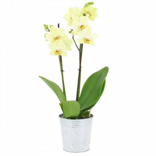 orchidee-vanille-387.jpg