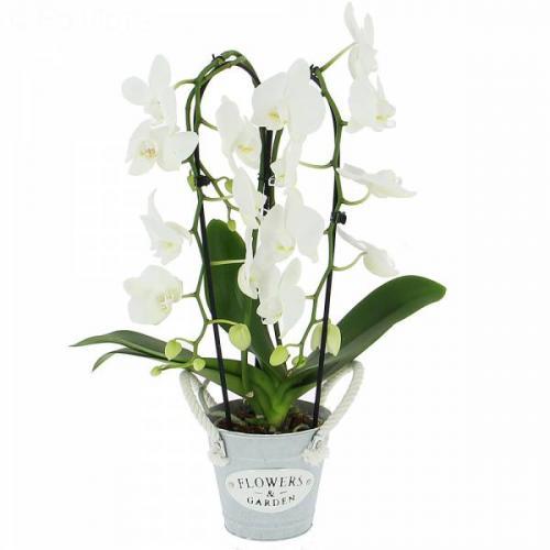 phalaenopsis-cascade-(2-b-440.jpg