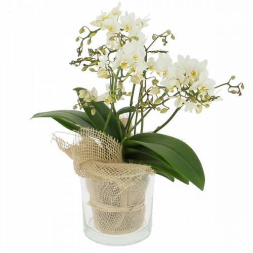 ravissante-orchid-e-450.jpg