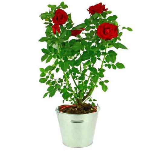 rosier-du-jardin-601.jpg