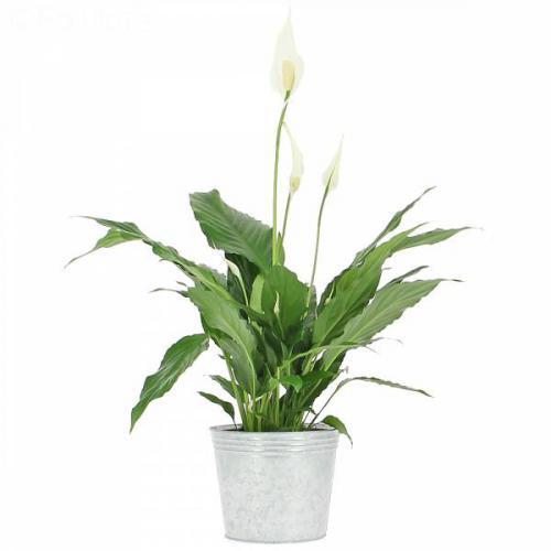 spathiphyllum-32.jpg