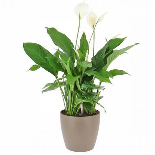 spathiphyllum-en-bac--o-r-261.jpg