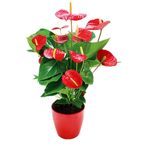 anthurium-5an.jpg