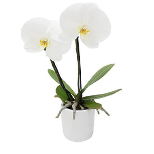 orchidee-hanoi-b5oh.jpg
